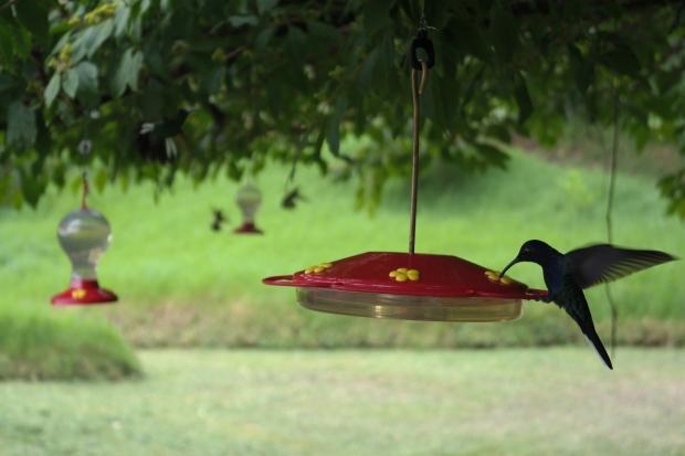 Drzewo kolibrów